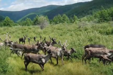 Batagol reindeer01